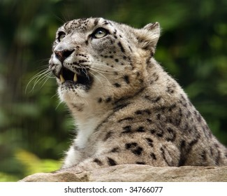 A close-up of an adult female snow leopard (uncia uncia) looking up.