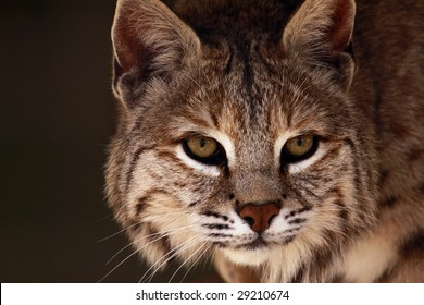 A close-up of an adult male bobcat (lynx rufus)