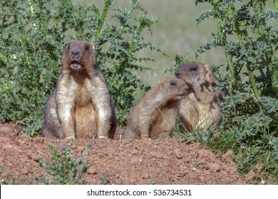 closeup adult marmots climbed out of the hole to soak up the warm sunshine on a green meadow
