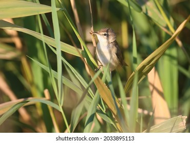 Close-up of an adult The paddyfield warbler (Acrocephalus agricola) sits on a reed in soft morning light.