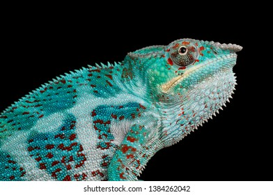Close-up of an adult panther chameleon (Furcifer pardalis) from the island of Nosy Faly, Madagscar