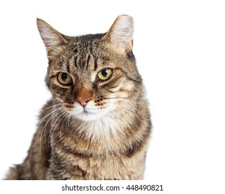 Closeup of an adult Tabby cat with tipped ear over white