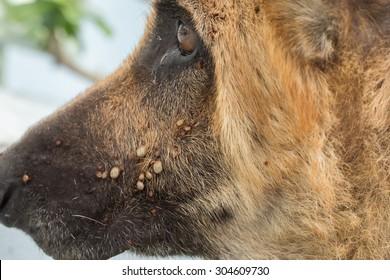 Closeup of adult tick on dog fur