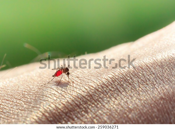 Close-up of Aedes Mosquitoes (Aedes albopictus) Sucking Blood on Arm.