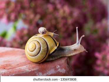 Closeup af a Yellow and Black banded Snail carrying a tiny snail on her back