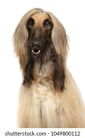 Close-up of Afghan hound isolated on white background