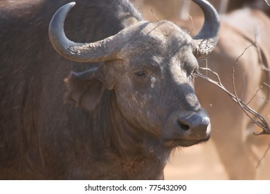closeup of an African or Cape buffalo, Syncerus caffer