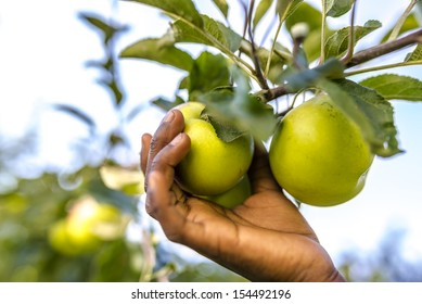 Closeup of african child picking apple from a tree.