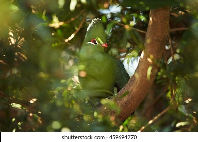 Close-up, african colorful bird, Knysna Turaco,Tauraco corythaix perched on tree among colorful leaves. South Africa