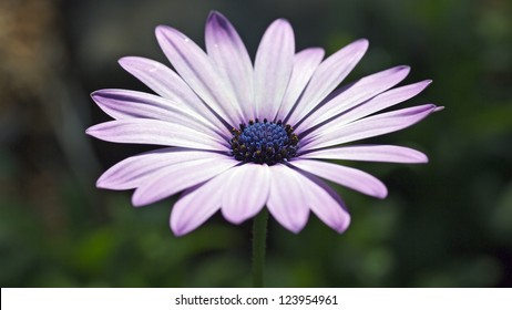 closeup of an African daisy flower