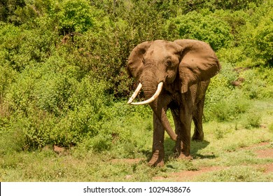 Closeup of African Elephant in Front of Green Forest