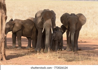 "Closeup of African Elephant group (scientific name: Loxodonta africana, or ""Tembo"" in Swaheli) getting some shade in the Tarangire National park, Tanzania"