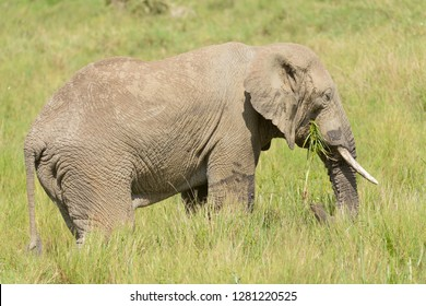 "Closeup of African Elephant (scientific name: Loxodonta africana, or ""Tembo"" in Swaheli) image taken on Safari located inTanzania"
