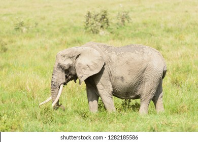 "Closeup of African Elephant (scientific name: Loxodonta africana, or ""Tembo"" in Swaheli) image taken on Safari located in Tanzania"