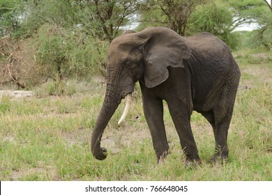 "Closeup of African Elephant (scientific name: Loxodonta africana, or ""Tembo"" in Swaheli) image taken on Safari located in the Tarangire National park, Tanzania"