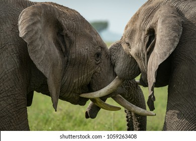 Close-up of African elephants fighting in meadow
