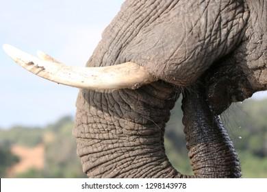 Closeup of an African Elephant's tusks, Chobe River, Botswana
