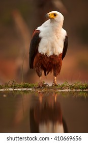 Close-up of an African fish eagle, Haliaeetus vocifer sitting on the shore of small lake against reddish, blurred savanna in background. Colorful evening light, KwaZulu Natal, South Africa.