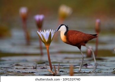 Close-up African jacana, Actophilornis africana, colorful african wader with long toes next to violet water lily in shallow water of seasonal lagoon. Ground level photography. Botswana,Okavango delta.