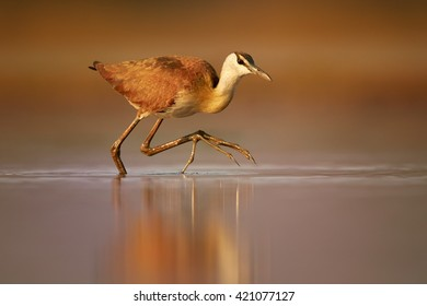 Close-up African jacana, Actophilornis africana, small african wader  with long toes in movement in shallow water of lagoon in colorful, evening light. Ground level photography. KwaZulu Natal.