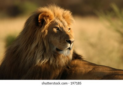 Close-up of an African lion, Namibia, Africa