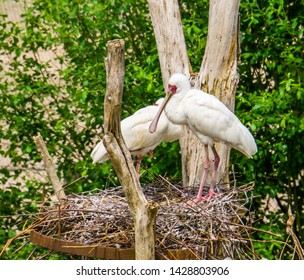 closeup of a african spoonbill bird couple standing in their nest during bird breeding season, tropical wading bird from Africa and madagascar