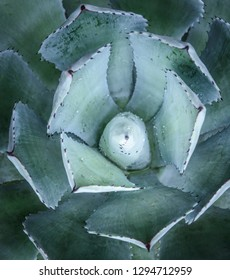 Close-up of agave plant