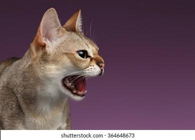 Closeup Aggressive Singapura Cat Hisses Profile view on purple background