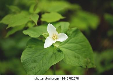 Close-up of an aging Large White Trillium flower. Also known as Great White Trillium, Large-flowered Trillium, Wake-robin, and Wood Lily. Presqu'ile Provincial Park, Brighton, Ontario, Canada.