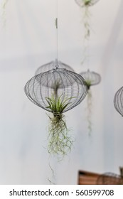 Closeup of Air Plants hanging in a net