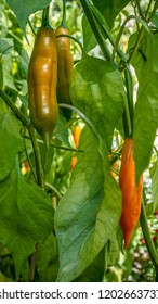 Closeup of Aji Yellow chilli peppers in a vegetable garden.