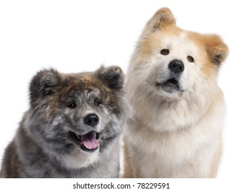 Close-up of Akita Inu, 7 years old and 4 years old, in front of white background