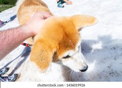 Close-up of Akita Inu, Akita inu dog close-up portrait. Japanese Dog Akita Inu Winter Background. Shiba inu.  6 months old puppy portrait. Dog portrait