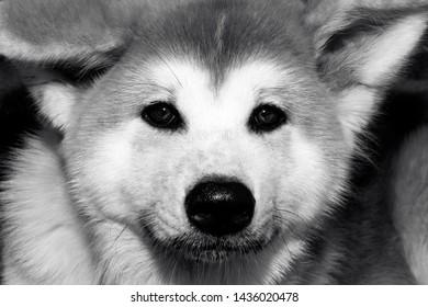 Close-up of Akita Inu, Akita inu dog close-up portrait. Japanese Dog Akita Inu. Shiba inu.  6 months old puppy portrait. Dog portrait