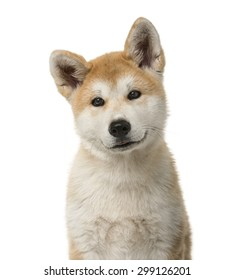 Close-up of an Akita Inu puppy in front of a white background