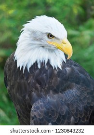 Closeup of an Alaskan Bald Eagle from a High Vantage Point