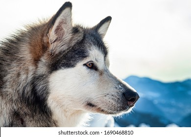 Close-up of an Alaskan Malamute