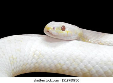 Closeup Albino Black Rat Snake Coiled Isolated on Black Background with Clipping Path