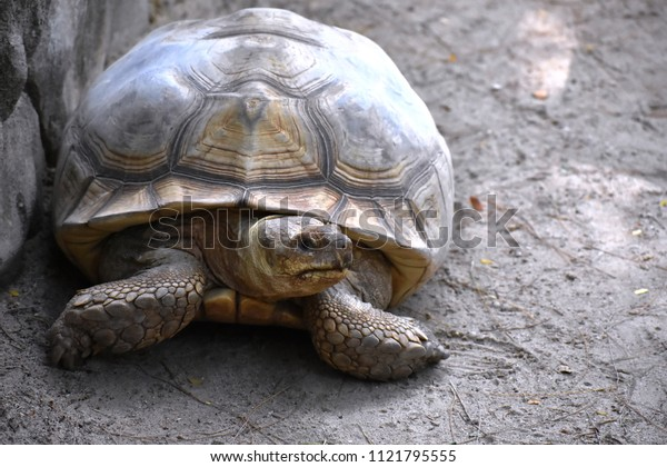 A closeup of Aldabra Giant Tortoise ( Scientific Name: Geochelone gigantea)