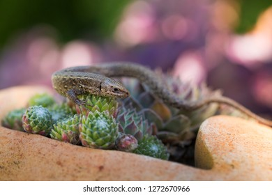 Closeup of alert lizard (Zootoca vivipara)
