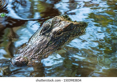 closeup of alligator or alligator mississippiensis eyes and snout just above water