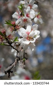 Closeup of an almond blossom with a honey bee during pollination