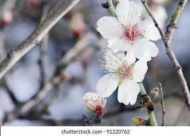 A closeup of an almond tree with white flowers with branches