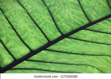 close-up of an alocasia leaf