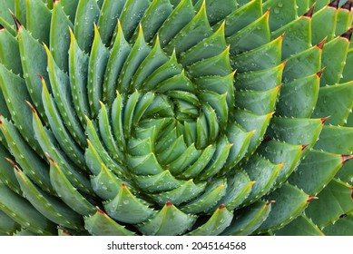 Closeup of aloe vera succulent plant with spiral spiky leaf pattern