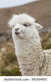 Close-up of an alpaca