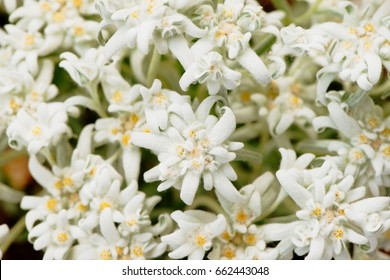 Closeup of Alpic (leontopodium alpinum) edelweiss flowers