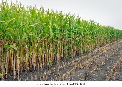 Close-up of already partially harvested fodder maize on a field. Due to the prolonged drought in the past period, the quality is poor. Some leaves are dehydrated and the corn cobs have hardly grown.