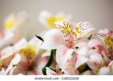 Closeup of Alstroemeria Flowers
