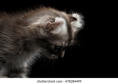 Closeup American Curl Kitten with Twisted Ears and Blue eyes Looking Down Isolated Black Background, Profile view
